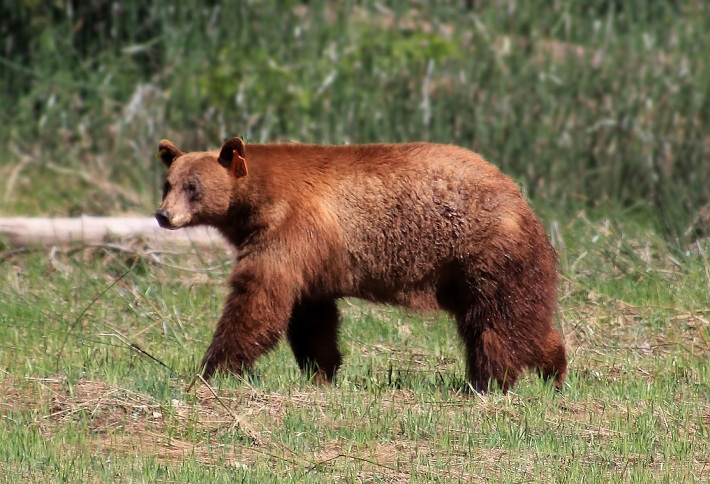 Photo of a bear wandering around