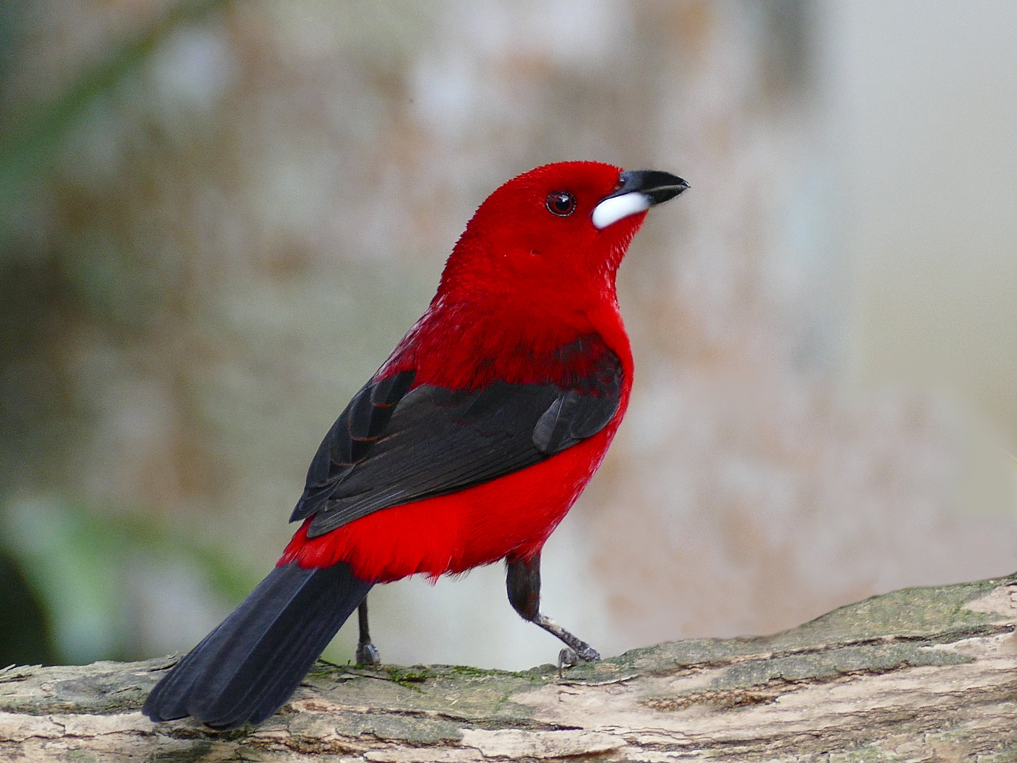 The Brazilian tanager having a good time on a branch in Brazil and being a cool bird.